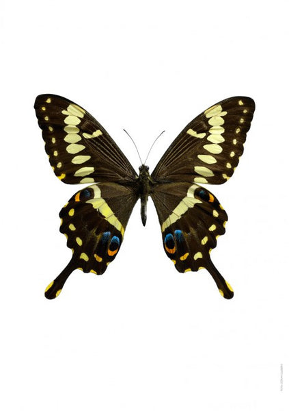 Unique Prints by Swedish photographer Göran Liljeberg | Papilio ophidicephalus - Natural History Direct Online Shop - 1