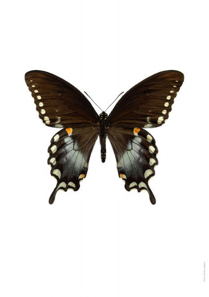 Unique Prints by Swedish photographer Göran Liljeberg | Papilio troilus - Natural History Direct Online Shop - 1