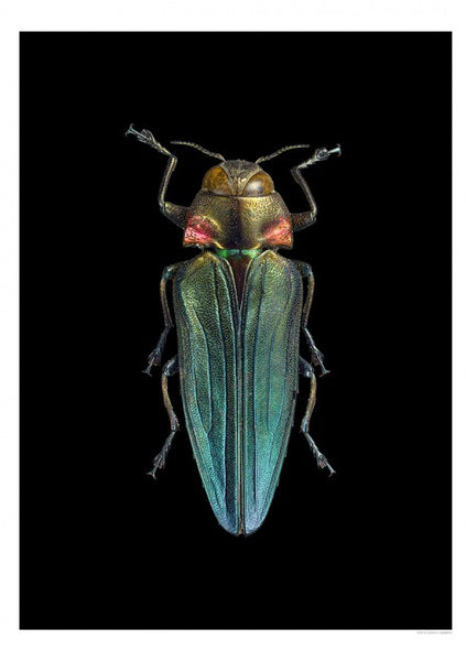 Unique Prints by Swedish photographer Göran Liljeberg | Belionota prasina, black - Natural History Direct Online Shop