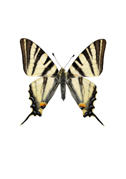 Unique Prints by Swedish photographer Göran Liljeberg | Iphiclides podalirius - Natural History Direct Online Shop - 1