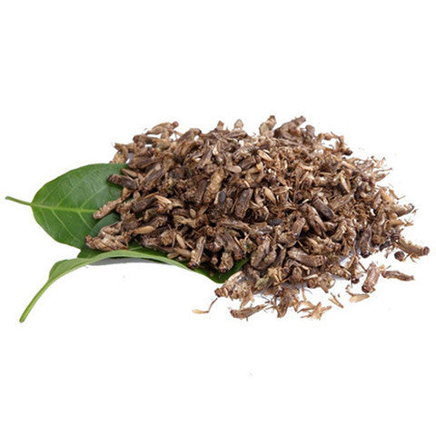 Edible Small Crickets 5g - Natural History Direct Online Shop - 1