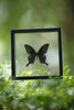 The Common Peacock Butterfly - Framed Butterfly - See Through Glass Frame - Natural History Direct Online Shop - 3