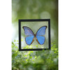 The Giant Blue Morpho Butterfly - Framed Butterfly - See Through Glass Frame - Natural History Direct Online Shop - 5