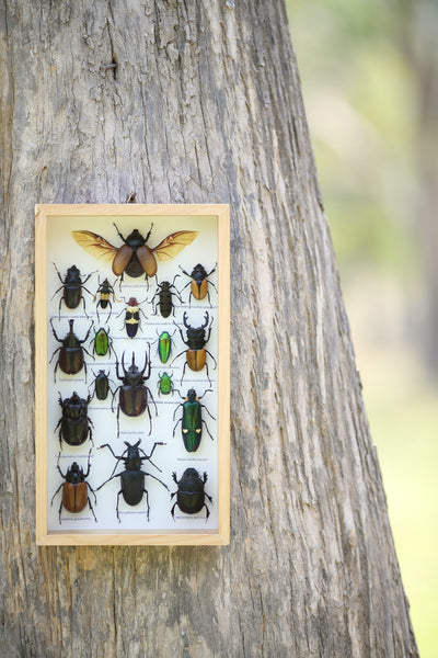 Entomology Insect Frame | Beetle Collection Taxidermy frame-12-081  - Natural History Direct Online Shop - 1