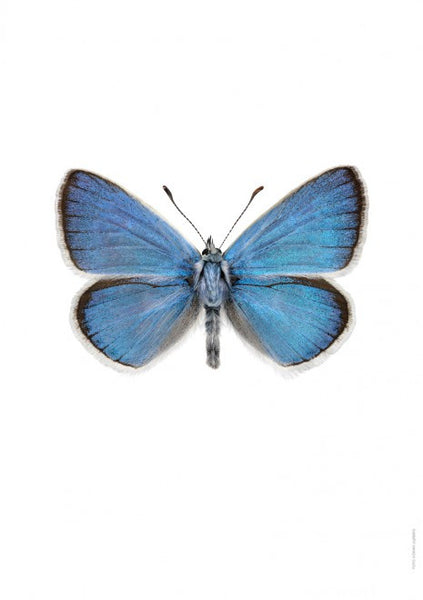 LILJEBERGS UNIQUE INSECT PRINTS | Cyaniris dorylas - Natural History Direct Online Shop - 1