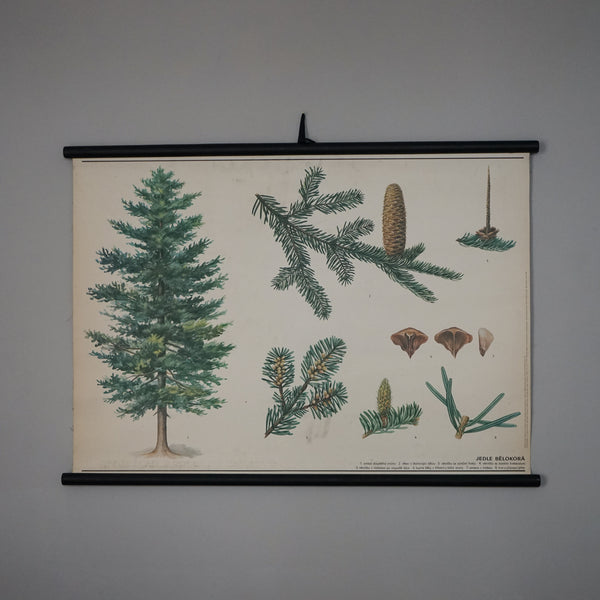 Educational Wall Hanging - White Fir