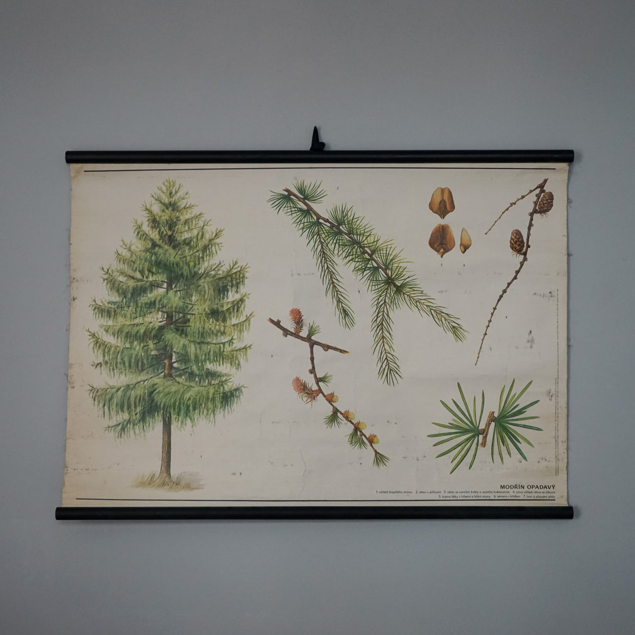 Educational Wall Hanging - Deciduous Larch