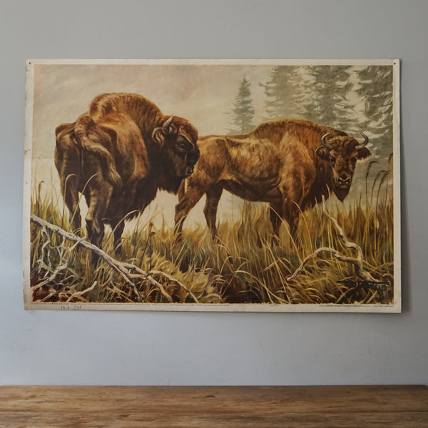 European Bison Educational Poster