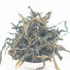 "Sandimen Wild ""Assamica Guardian"" Oolong Tea - Spring 2019"