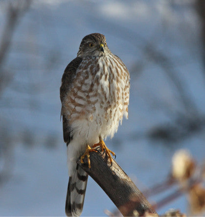 Raptor-Coopers Hawk