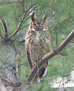 Owl - Great Horned Nokomis