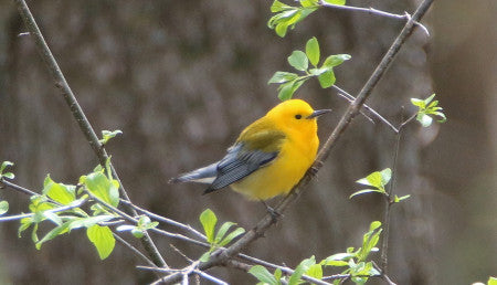 Warbler- prothonotary