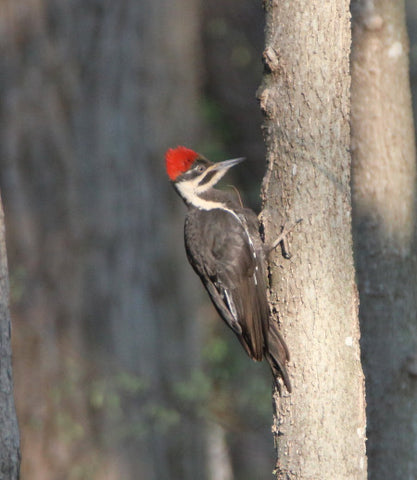 Woodpecker - Pileated
