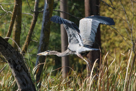 Heron- Great Blue-Pickeral Lake