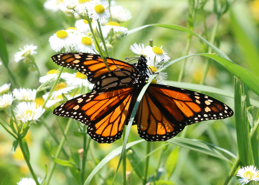 Monarch Butterfy - Double