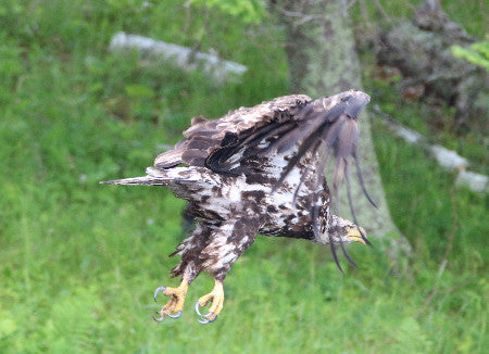 Eagle - Juvie - See Through Wings?