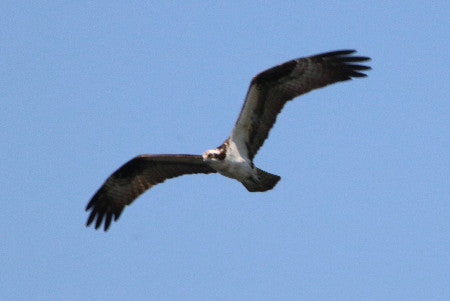 Raptor-Osprey - I think I see a Fish