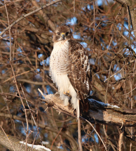 Raptor -Red-tailed Hawk - Yes?