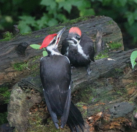 Baby - Pileated - Baby & Parent