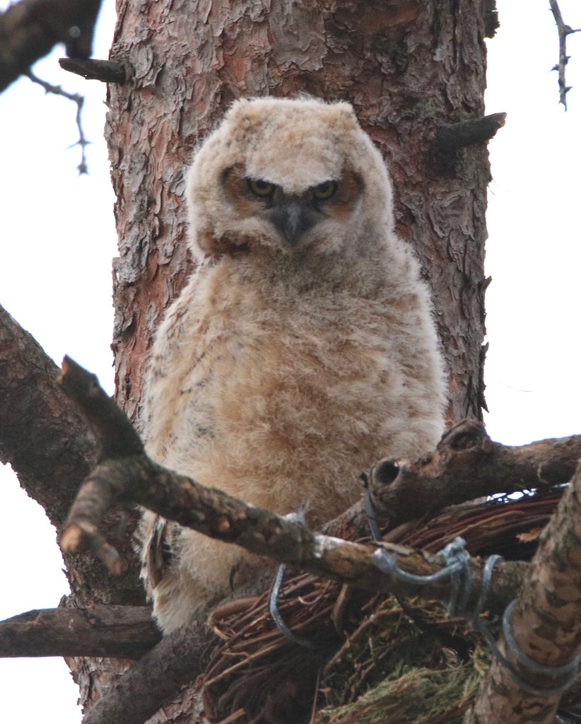 Owl - Great Horned Owl - WHAT?