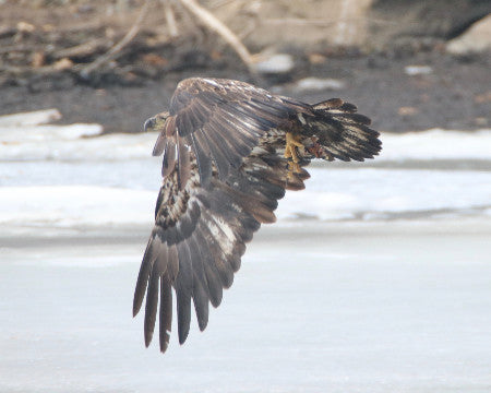 Eagle - Juvie - Testing the Wings