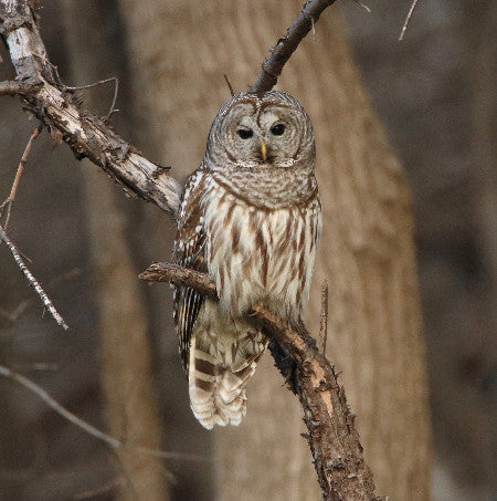 Owl- Barred - What a Day