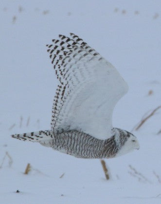 Owl- Snowy - she's a beauty!