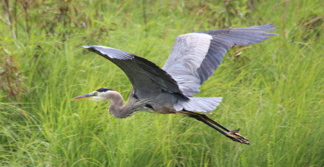 Heron- Great Blue heron - soaring