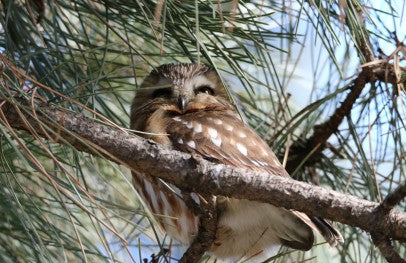 Owl- Northern Saw-whet - Pining Away