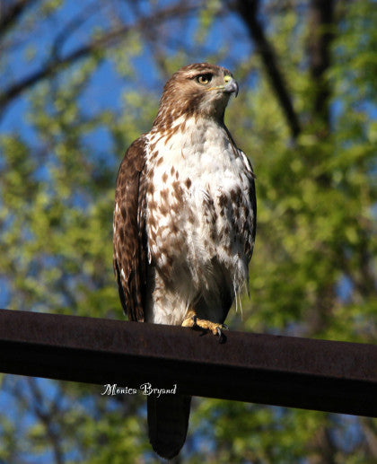 Raptor -Red-tailed Hawk - Protecting the Hood