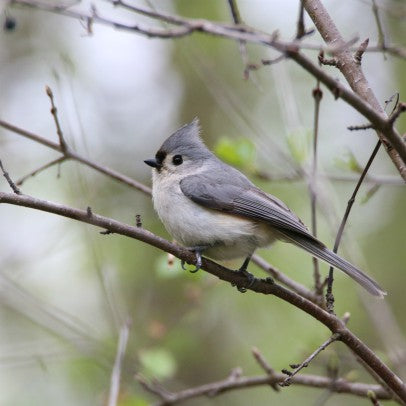 Tufted Titmouse - what a cutie