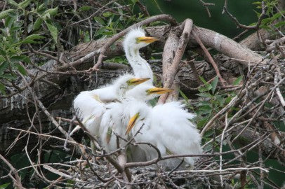 Baby Egrets- Where's Moma?