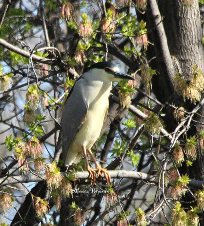 Heron - Black Crowned Night Heron
