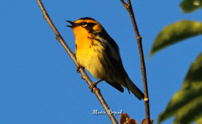 Warblers-Black Burnian