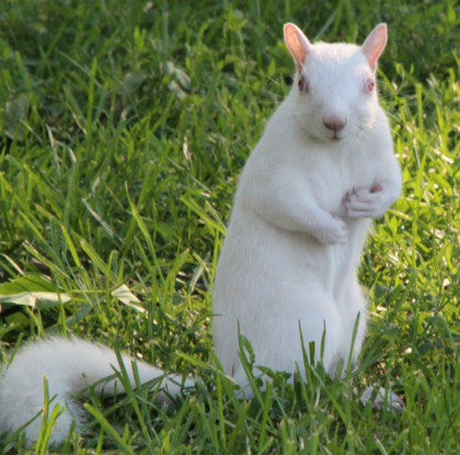Squirrel- White