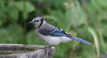 Blue Jay - Quenching its thirst