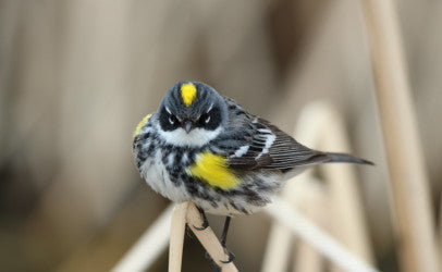 Warbler - butter butt - yellow rumped