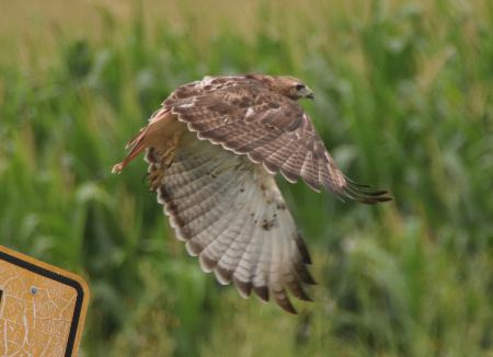 Raptor -Red-tailed Hawk - Taking Flight
