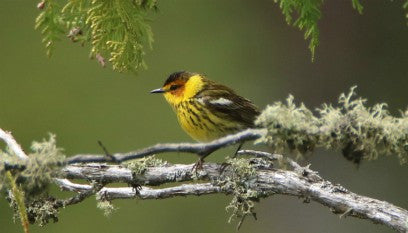 Warbler - Cape May
