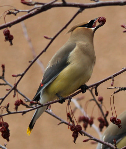 Cedar Waxwing-a little tongue