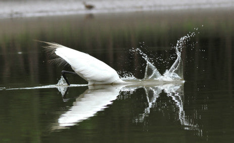 Egret - Great Egret diving