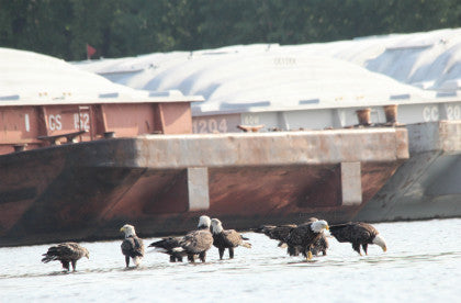 Eagles-group shot on the Mississippi