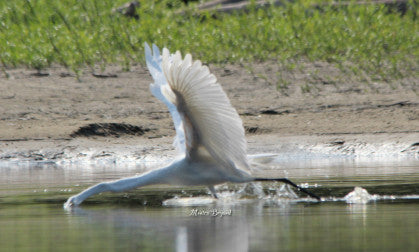 Egret - Great Egret - Nice Bone Structure