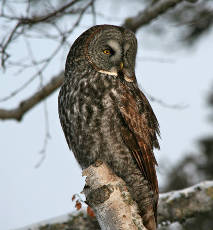 Owl - Great Grey -Duluth