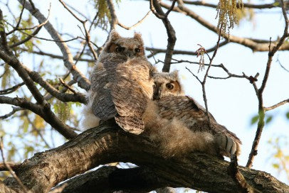 Owls- Great Horned Babies - Lean on Me
