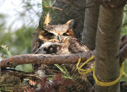 Owl Great Horned - Resting