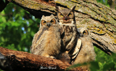 Owls-Great Horned and babies