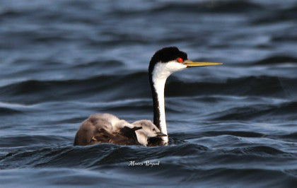 Western Grebe - Babies Going for a Ride