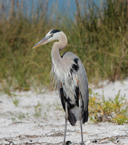 Heron-beaches of FL.