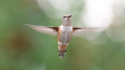Hummingbird- Calliope in flight